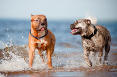 Två hundkapplöpning som spelar på stranden royaltyfria foton
