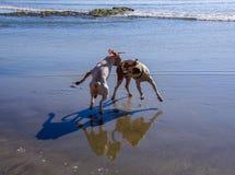 Två hundkapplöpning som spelar på stranden med deras skuggor och reflexioner som ses på våt sand arkivbild