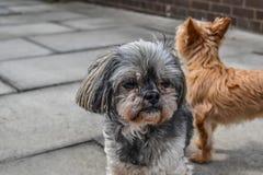 Två hundkapplöpning som står utanför ett hus royaltyfri fotografi