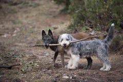 Två hundkapplöpning som tillsammans rymmer en pinne arkivbild