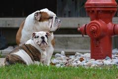 Två hundkapplöpning som utanför sitter vid en brandpost Arkivbild