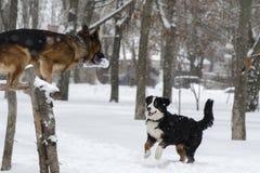 Två hundkapplöpning stojar i parkerar i vinter royaltyfria foton