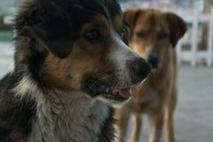 Två hundkapplöpning utomhus - en ser framme av honom, och annan är svartsjuk av hans vän royaltyfria foton