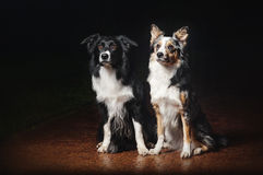 Två hundkapplöpninggränscollier Royaltyfria Bilder