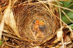 Två hungriga fågelungar av flugsnapparefågel i redet Fotografering för Bildbyråer