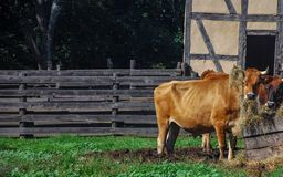 Två hungriga kor med hö på dess horn- anseende i gyttja på den gamla världen Wisconsin arkivbild