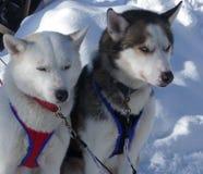 Två huskies som väntar på pulkan, turnerar Arkivfoto