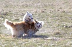 Två Husky Dogs Play i äng Royaltyfri Bild