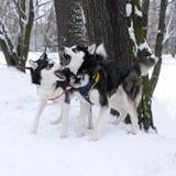 Två Husky Dogs Playing Arkivfoton