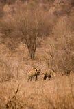 Två hyenor med rovet i savannahen, Kruger parkerar, Sydafrika Royaltyfri Foto