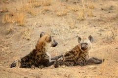 Två hyenor som vilar under de varma dagtimmarna Fotografering för Bildbyråer