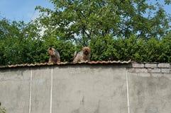 Två ingen kända varv-hundkapplöpning sitter på ett högt staket och skäller på Arkivbilder