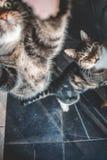 Två inhemska katter som ser upp för en fest royaltyfria foton