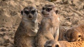 Två intresserade meerkats solbadar Fotografering för Bildbyråer