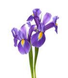 Två irises royaltyfri foto