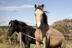 Två irländska hästar Arkivfoton