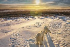 Två isbjörnar i deras naturliga livsmiljö royaltyfri fotografi