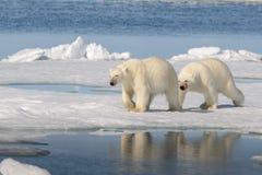 Två isbjörnar på isen Royaltyfria Foton