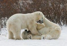 Två isbjörnar som spelar med de i tundran Kanada Arkivbilder