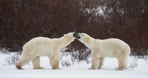 Två isbjörnar som spelar med de i tundran Kanada Arkivbild