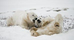 Två isbjörnar som spelar med de i tundran Kanada Royaltyfri Foto