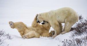 Två isbjörnar som spelar med de i tundran Kanada Arkivfoto