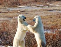 Två isbjörnar som står och munhuggas Arkivfoto