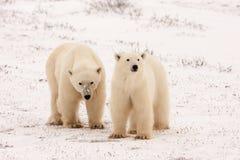 Två isbjörnar som står sidan - förbi - sida Arkivfoton