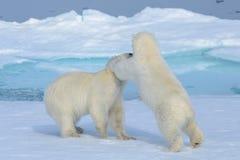 Två isbjörngröngölingar som tillsammans spelar på isen royaltyfria foton