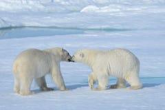 Två isbjörngröngölingar som tillsammans spelar på isen royaltyfri fotografi