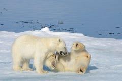 Två isbjörngröngölingar som tillsammans spelar på isen royaltyfria bilder