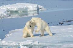 Två isbjörngröngölingar som tillsammans spelar på isen arkivfoton