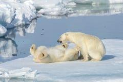 Två isbjörngröngölingar som tillsammans spelar på isen royaltyfri foto