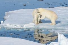 Två isbjörngröngölingar som tillsammans spelar på isen arkivbild