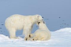 Två isbjörngröngölingar som tillsammans spelar på isen arkivfoto