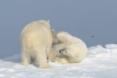 Två isbjörngröngölingar som tillsammans spelar på isen arkivbilder