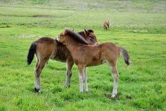 Två isländska föl som ansar sig arkivfoto