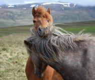 Två isländska hästar, en som ser över annan Kastanjebrunt och att dapple grått arkivbild