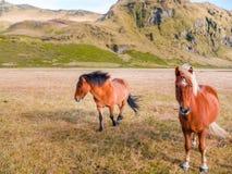Två isländska hästar i Island arkivbild