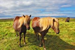 Två isländska hästar med gula män Arkivbilder