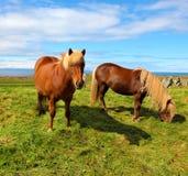 Två isländska hästar på ett fritt betar Royaltyfri Fotografi