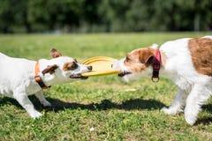 Två Jack Russell Terrier hundkapplöpning som står sidan - förbi - sida och innehav Royaltyfria Foton