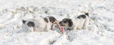 Två Jack Russell Terrier som spelar i vinter på en äng i snö arkivbild