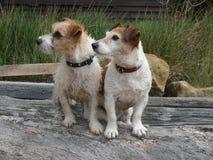 Två Jack Russell terrierhundkapplöpning på journal Royaltyfri Foto