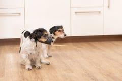 Två Jack Russell Terriers vovvar sid - vid - sidan i lägenheten arkivfoto
