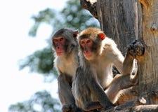 Två japanska macaques som klamra sig fast intill en trädfilial Royaltyfria Foton