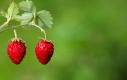 Två jordgubbar stänger sig upp på grön bakgrund arkivfoto