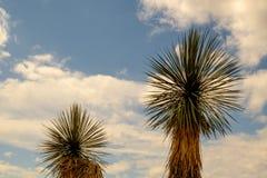 Två Joshua Trees Royaltyfri Bild