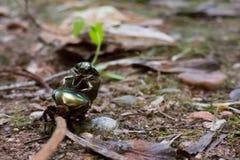 Två juni skalbaggar i träna Royaltyfri Bild