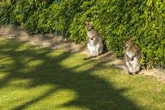 Två kängurur i en parkera, Paris royaltyfri foto